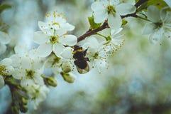 пчела собирает цветень стоковое изображение rf