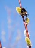 пчела собирая вербу цветня Стоковые Фото