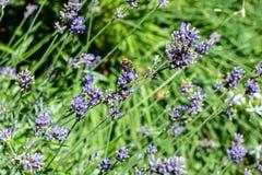 Пчела собирая на цветени лаванды Стоковое Фото