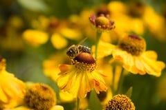 пчела собирая нектар меда цветка Стоковые Изображения