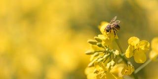 Пчела собирая нектар на цветке рапса стоковые изображения rf