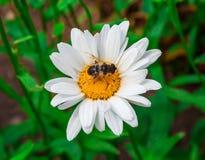 пчела собирая нектар Стоковые Фото