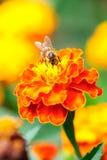 Пчела собирая цветень от цветка calendula Стоковое Изображение RF
