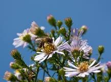 пчела собирая цветень Стоковое Изображение