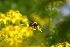 пчела собирая nacter Стоковое Фото