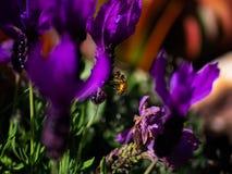 Пчела среди пурпурных цветков в летнем времени стоковая фотография rf