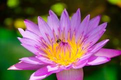 Пчела с большим фюзеляжем и короче чем королева пчел Стоковые Фото