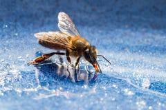Пчела с сладостной едой в лете Стоковые Фотографии RF
