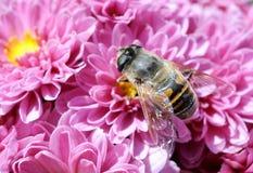 Пчела с хризантемами Стоковая Фотография