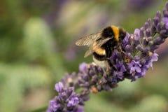 Пчела трудна на работе и нектар собирать от цветков лаванды стоковое фото