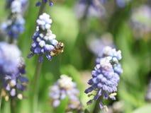 пчела трудолюбивая Стоковая Фотография