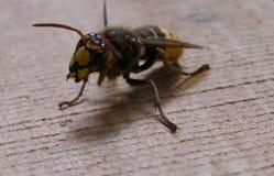 Пчела убийцы оккупанта marauder шершня стоковое изображение rf
