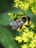 пчела цветет желтый цвет Стоковое Изображение RF