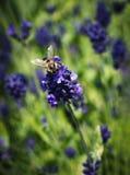 пчела цветет лаванда Стоковые Фото