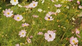 Пчела шмеля собирая нектар и опыляя цветки в саде видеоматериал