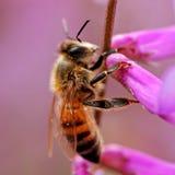пчела 01 ef Стоковое фото RF