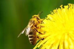 пчела Стоковая Фотография RF