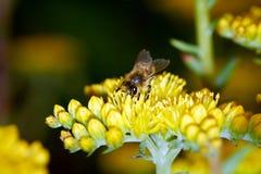 Пчела Anthophila сидит на желтом цветке стоковые фотографии rf