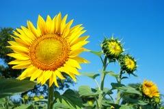 пчела blossomed солнцецвет Стоковая Фотография