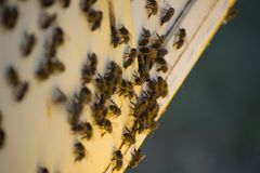 Пчелы внутри улья в поле Стоковые Фотографии RF