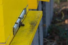 Пчелы входя в крапивницу Пчелы защищая крапивницу Стоковое Изображение RF