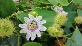 Пчелы едят нектар от цветня зловонного passionflower сток-видео