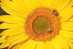 Пчелы и миниатюрный солнцецвет Стоковые Фотографии RF