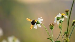 Пчелы которые сосут мед на цветках в диком акции видеоматериалы