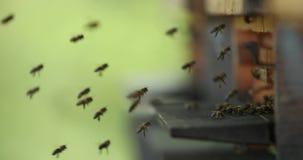 Пчелы летания с крапивницей сток-видео