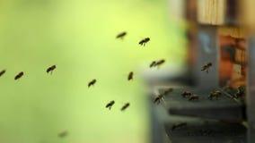 Пчелы летания с крапивницей акции видеоматериалы