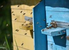 Пчелы летают к крапивнице Стоковое Изображение RF