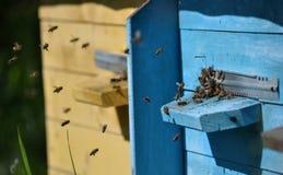 Пчелы летают к крапивнице Стоковое Изображение
