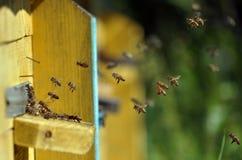Пчелы летают к крапивнице Стоковое фото RF