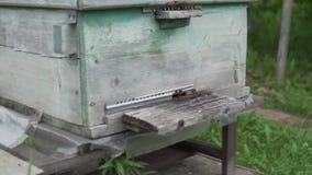 Пчелы летают на старую крапивницу Ферма пчелы видеоматериал