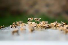 2 пчелы летая Концепция пчеловодства стоковые фото