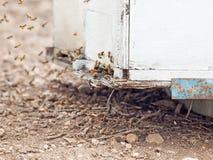 Пчелы летая на вход крапивницы конец вверх Стоковое Изображение RF
