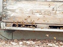 Пчелы летая на вход крапивницы конец вверх Стоковая Фотография