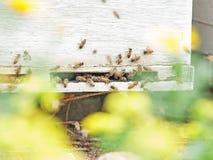 Пчелы летая на вход крапивницы конец вверх Стоковое фото RF