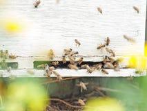 Пчелы летая на вход крапивницы конец вверх Стоковые Изображения