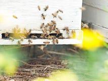 Пчелы летая на вход крапивницы конец вверх Стоковая Фотография RF