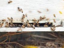 Пчелы летая на вход крапивницы конец вверх Стоковое Фото