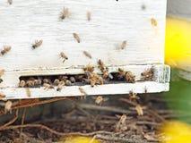 Пчелы летая на вход крапивницы конец вверх Стоковые Фотографии RF
