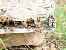 Пчелы летая на вход крапивницы конец вверх Стоковое Изображение