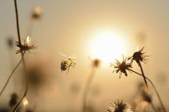 пчелы летая с предпосылкой захода солнца в вечере перед сумраком Стоковое Фото