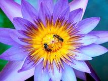 2 пчелы меда и фиолетового цветок лотоса стоковые изображения