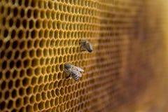 Пчелы меда на соте внутри улья Шестиугольная структура воска с предпосылкой нерезкости Стоковые Изображения RF