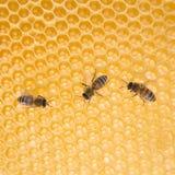 Пчелы меда работая на структуре сота шестиугольной в улье Стоковое Изображение
