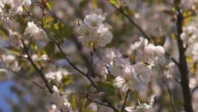 Пчелы меда собирая цветень и нектар как еда для всей колонии, опыляя заводов и цветков - времени весны к сток-видео
