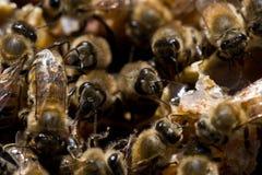 Пчелы меда Стоковое Изображение RF