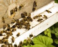 пчелы назначения Стоковые Фото